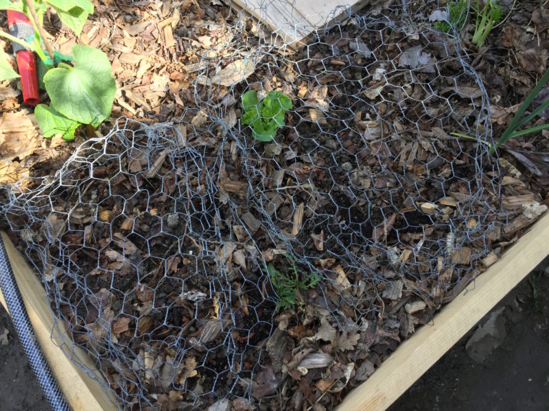 Semis carottes et radis: protection contre les oiseaux
